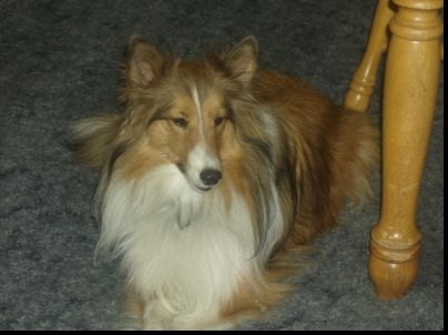 Sheltie named Zoe